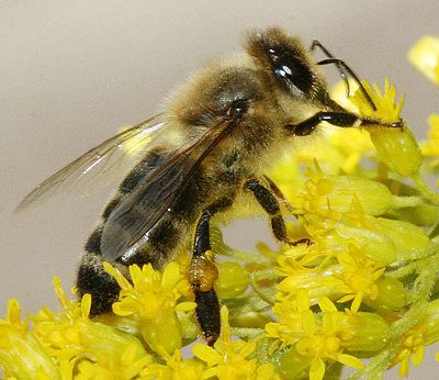 400px-Carnica bee on solidago